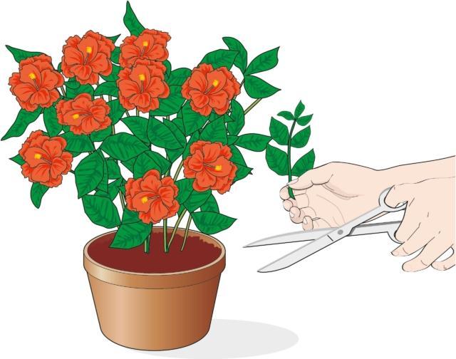 1. La talea estiva è costituita da un germoglio laterale della pianta, privo di fiori: con una forbice da potare si preleva un rametto lungo circa 10 cm e una piccola porzione del fusticino al quale è collegato. Si completa la preparazione della talea estiva asportando la parte apicale del germoglio e le foglie basali.