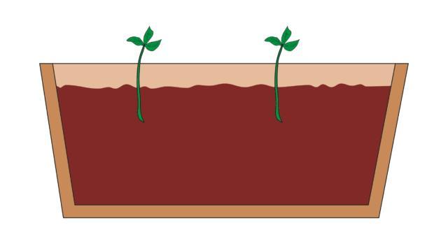 2. A questo punto, la talea estiva è pronta per la messa in terra. Come terriccio si utilizza un miscuglio composto da metà sabbia e metà torba, in maniera da ottenere un composto morbido e ben drenante. La cassetta con le talee deve essere mantenuta ad una temperatura di 15-18°C, col terriccio lievemente umido, così da consentire l'attecchimento e la radicazione delle talee.