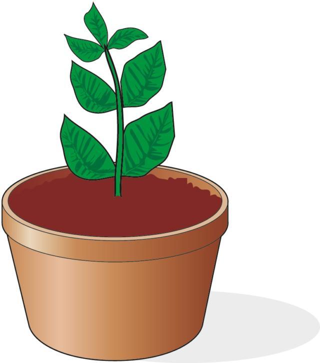 3. A fine stagione, se la talea estiva è attecchita, può essere trasferite in un vaso singolo, del diametro di circa 7-8 cm, e mantenuta alle medesime condizioni. Solo l'estate successiva, la nuova pianta potrà essere trasferita all'esterno, rinvasata in un vaso di circa 10 cm di diametro contenente terriccio di tipo universale, dove continuerà il suo sviluppo.