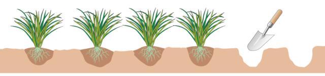 Scavare una buca a mano utilizzando una paletta e mettere a dimora una pianta ogni 10 centimetri.