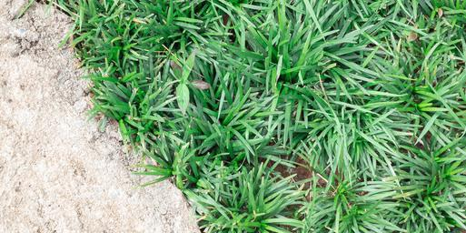 Convallaria japonica, tappezzante decorativa all'ombra