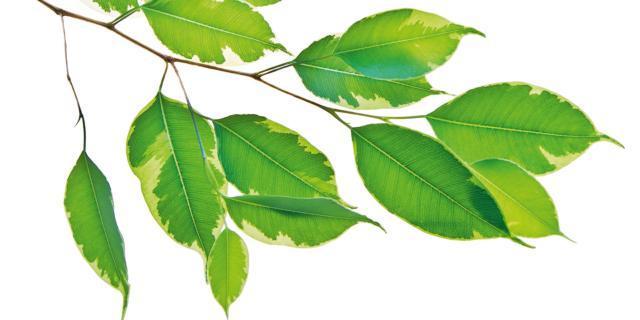 Ficus benjamin, che cosa fare se perde le foglie