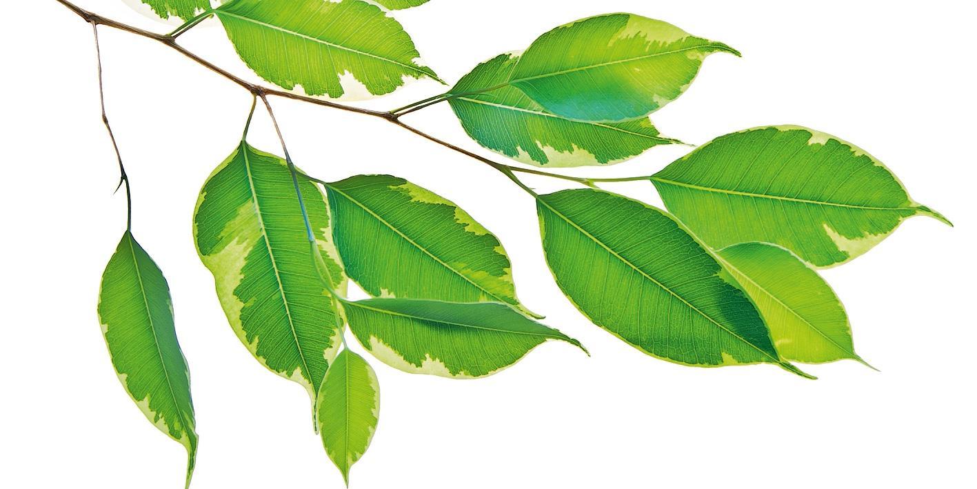 Ficus Benjamin Perde Foglie ficus benjamin, che cosa fare se perde le foglie - cose di casa