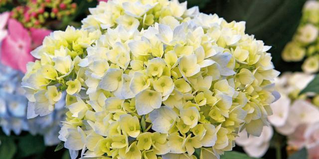Hydrangea macrophylla 'Homigo' – ortensia 'Homigo'