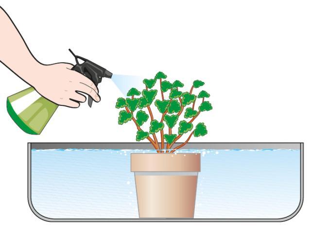 2. Si riempia con acqua a temperatura ambiente un contenitore in cui immergere l'intero vaso per lasciarlo fino a quando le bollicine che fuoriescono dal terreno sul pelo dell'acqua non saranno completamente cessate. Se, nonostante i danni estivi, sulla pianta fossero ancora presenti delle foglie, si provveda a nebulizzarle durante questa operazione.