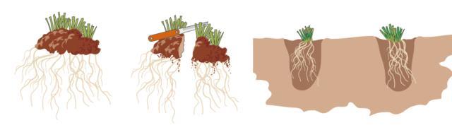 Una volta estratta dal suolo, la zolla viene tagliata in porzioni che comprendano sia radici che fusticini: si ricavano due o anche più (3 o 4) porzioni, in relazione alle dimensioni del cespo. Per fare quest'operazione si utilizza un seghetto. Le porzioni ottenute possono essere trattate come piante singole a tutti gli effetti e messe a dimora in altre parti del giardino.