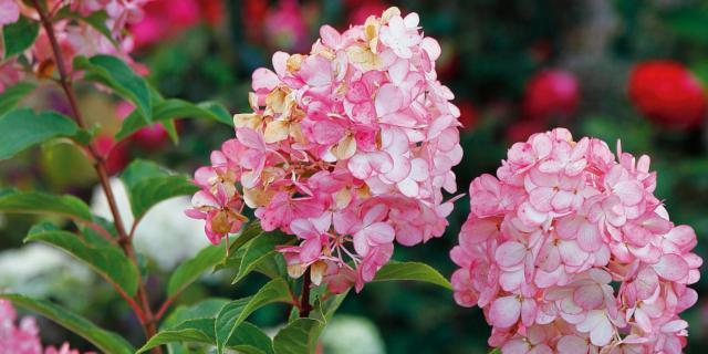 Hydrangea paniculata 'Vanilla Fraise' – ortensia