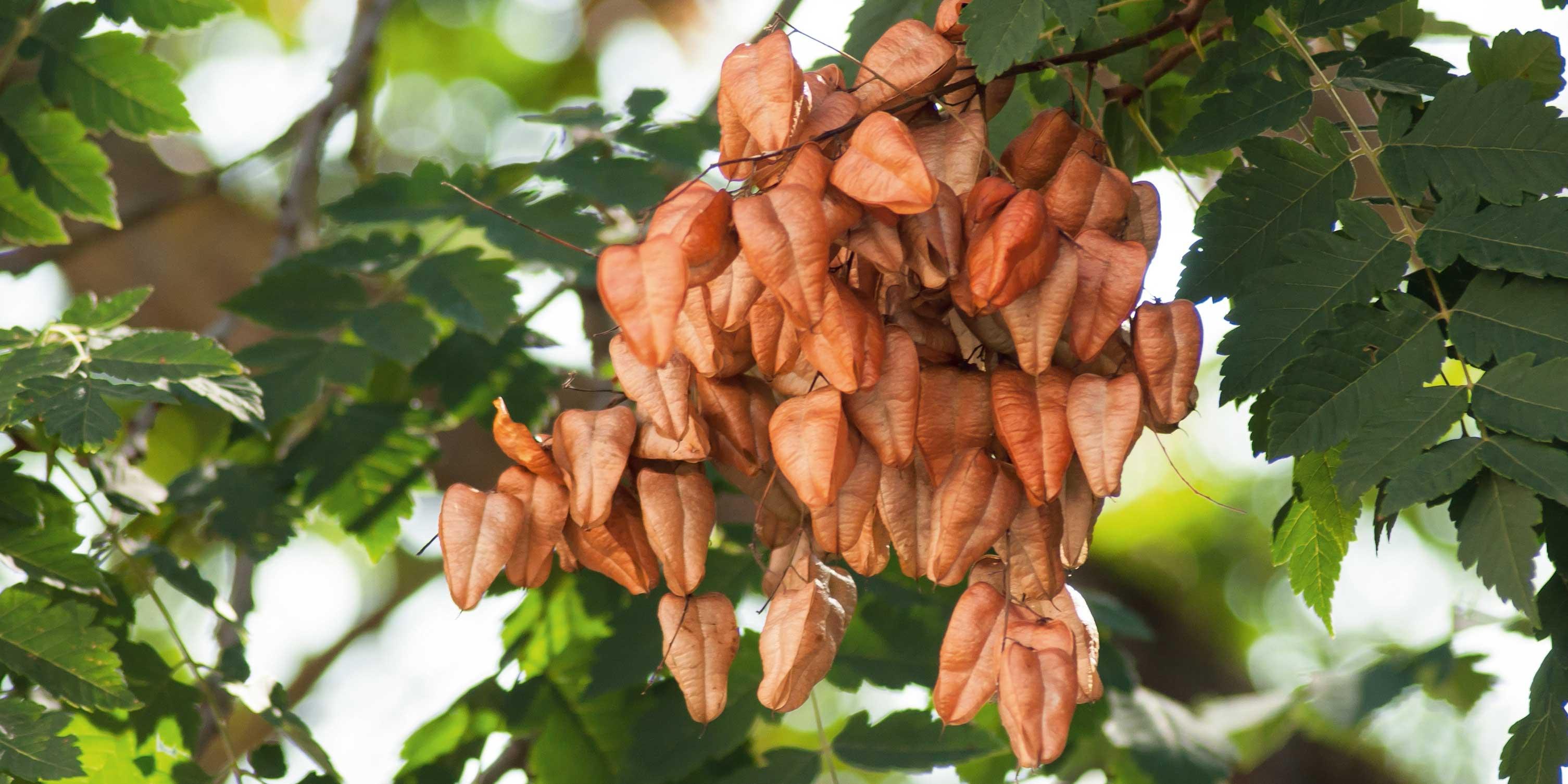 Albero Della Fortuna Pianta koelreuteria, l'albero delle lanterne - cose di casa