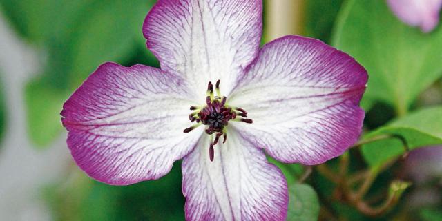 Clematis viticella 'Super Nova' – clematide