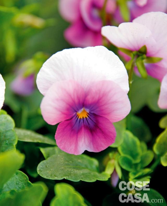 viola-orchid-rose-1