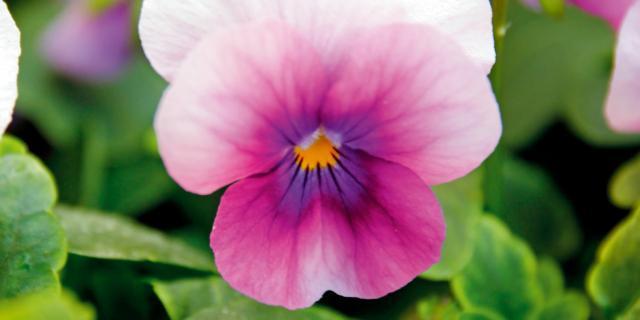 Viola cornuta 'Orchid Rose Beacon'