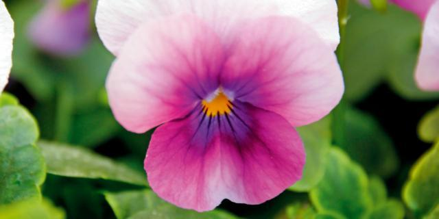 Viola cornuta 'Orchid Rose Beacon'
