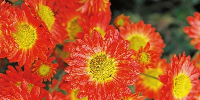 Chrysanthemum hyb. 'Pizzicato' – crisantemo
