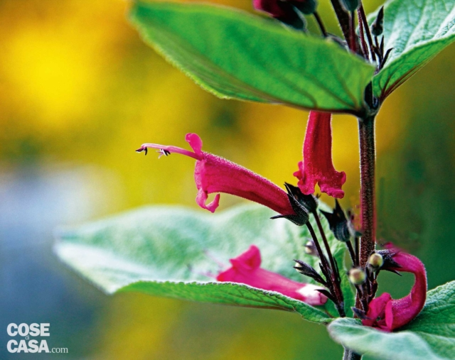 Lepechina-salvia