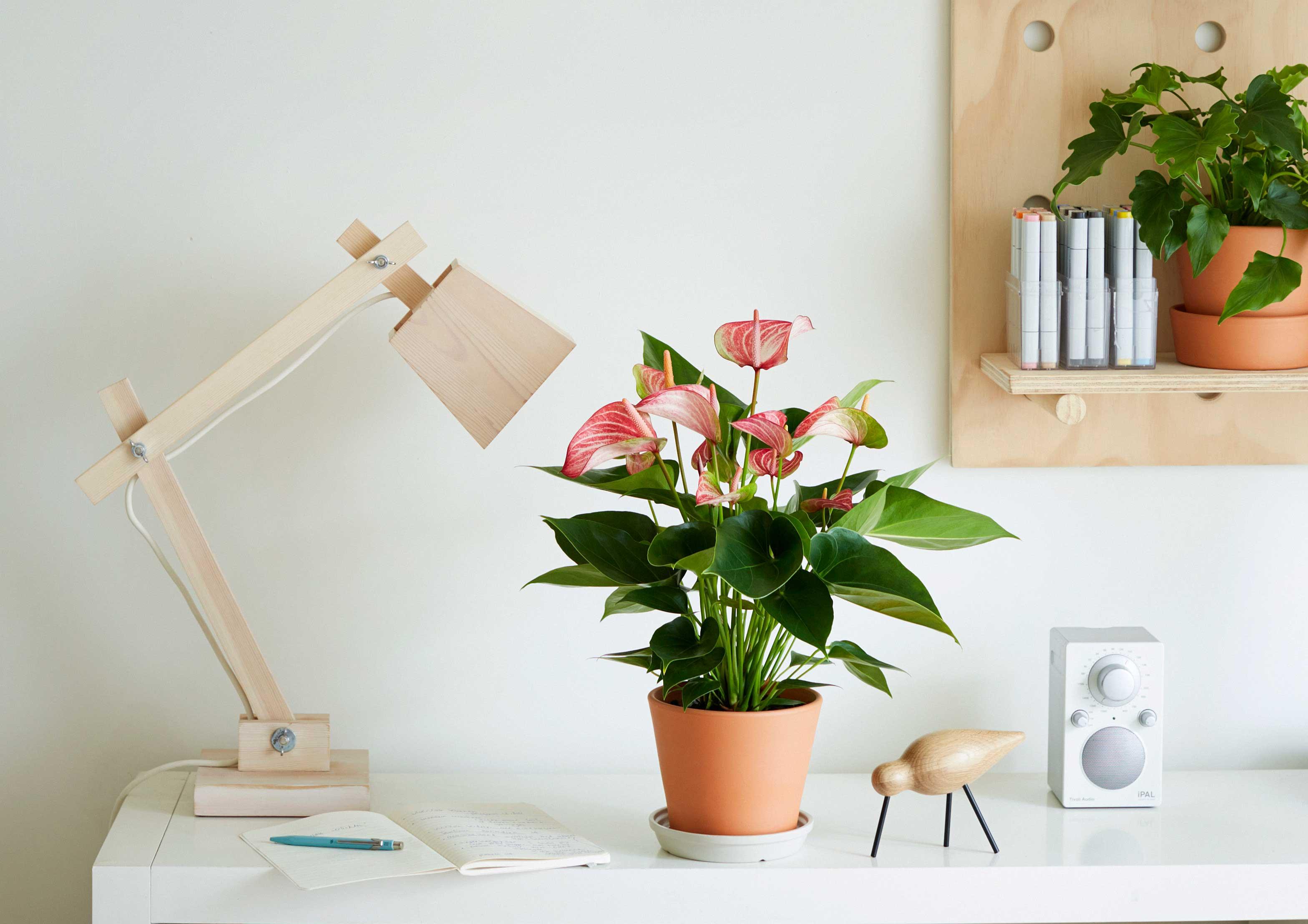 Pianta Da Ufficio Poca Luce come curare l'anthurium - cose di casa