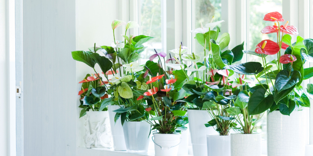 Come curare l'Anthurium