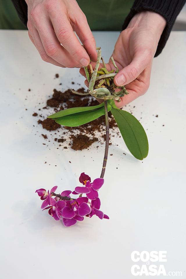 3. Irrigare bene tutte le piante, lasciarle asciugare e svasarle; immergere la mini Phalaenopsis in un contenitore con acqua a 35-40° C fino a coprire il vaso (evitando che si rovesci); dopo 10 minuti, toglierla e liberare le radici da terriccio e corteccia. Se durante questa operazione le foglie si fossero sporcate pulirle con un panno imbevuto di acqua e poi asciugarle.