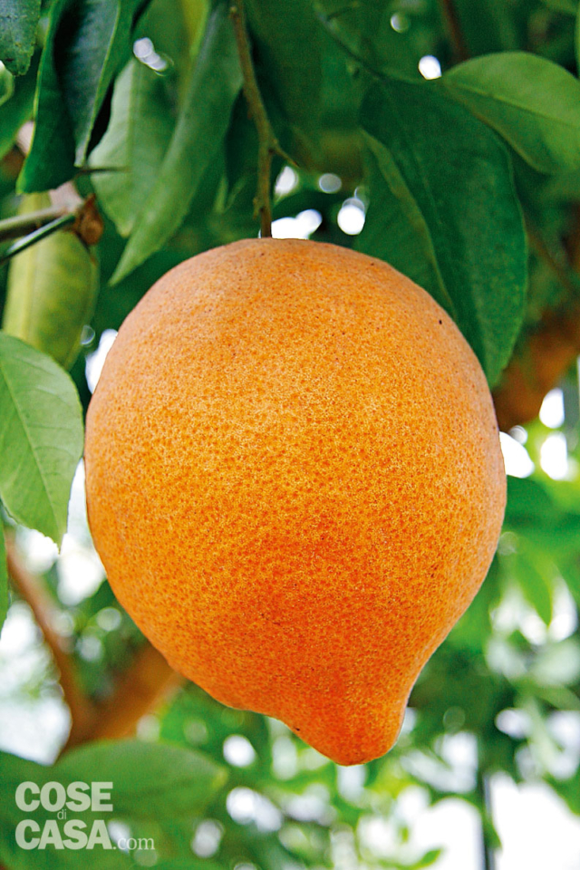 citrus-karma-0