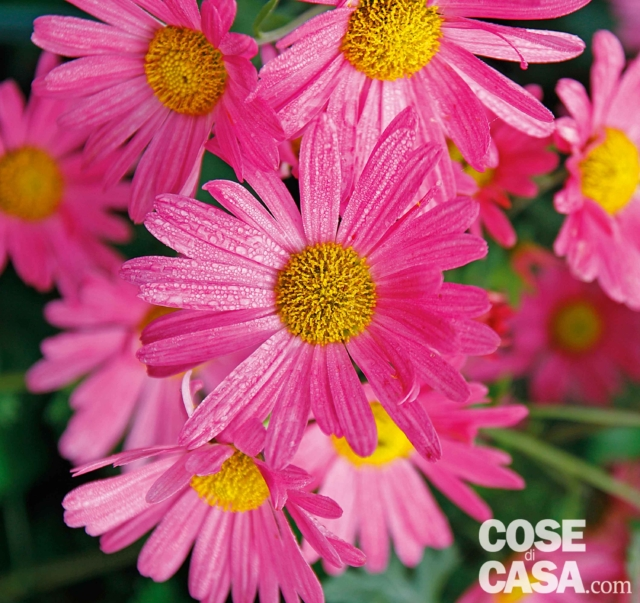 crisanthemum-tapestry-rose