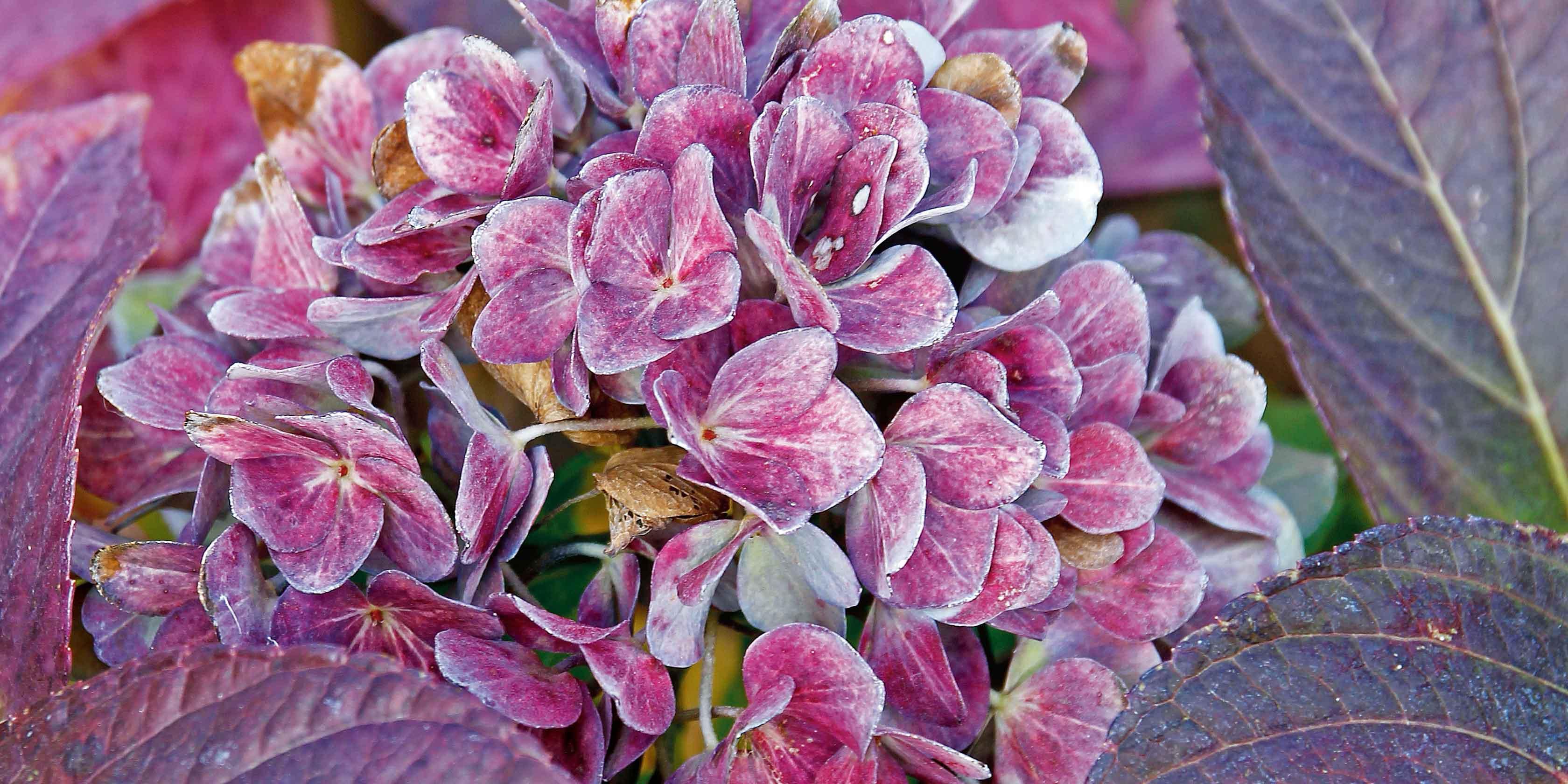 Come Curare Le Ortensie i fiori di novembre in giardino - cose di casa