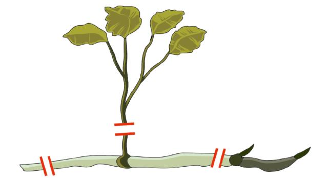 Si raccolgono i rizomi (la parte perennante), si eliminano eventuali foglie e la parte secca. Il loto ha il rizoma spesso e scuro: è la parte da conservare.