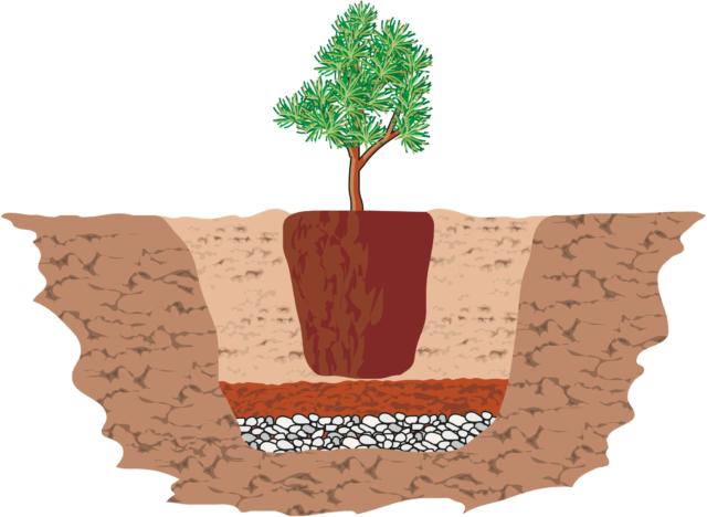La buca, scavata con una vanga, deve essere poco più grande rispetto al pane radicale (nel caso di pianta acquistata con radice nuda), o al vaso della piantina acquistata.Sul fondo della buca si distribuisce uno strato di un paio di cm di ghiaia, o argilla espansa seguito da uno strato di terriccio a reazione acida di 3-4 cm di spessore. Quindi si alloggia la pianta svasata. Gli spazi vuoti della buca vanno infine colmati con ulteriore terriccio specifico per conifere (a reazione acida). Una volta premuta bene la terra, così da farla aderire bene all'apparato radicale della pianta, si innaffia abbondantemente. È bene eseguire quest'operazione in tarda mattinata, in modo tale da sfruttare le ore più calde della giornata.