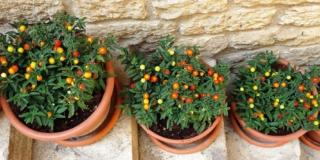 Solanum in vaso, per le bacche colorate