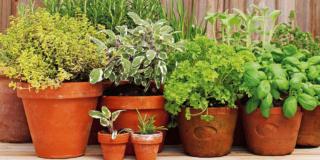 Curare i vasi di aromatiche durante l'inverno