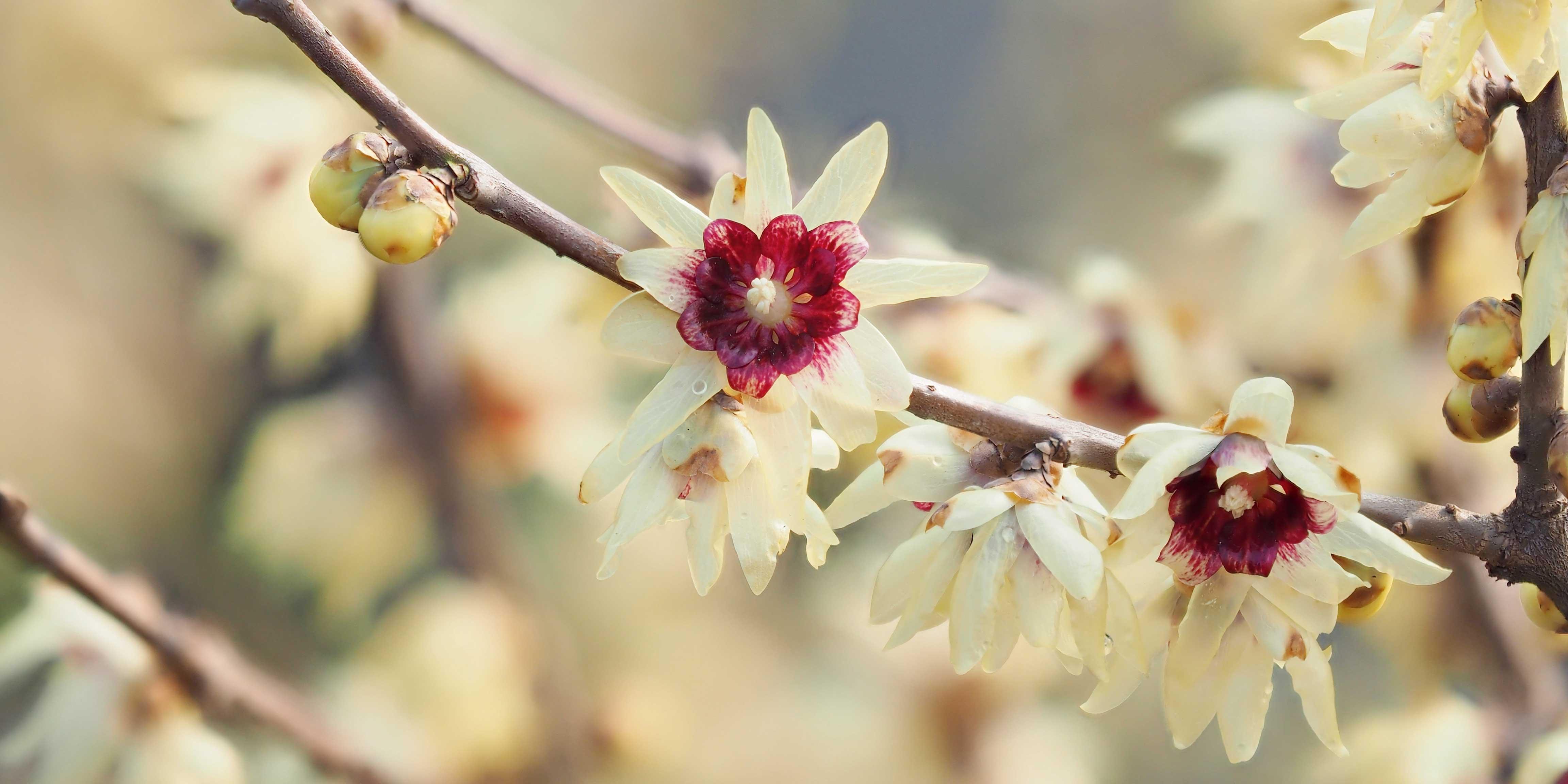 Calicanto Fiore D Inverno forsizia bianca, calicanto, amamelide: fioritura precoce