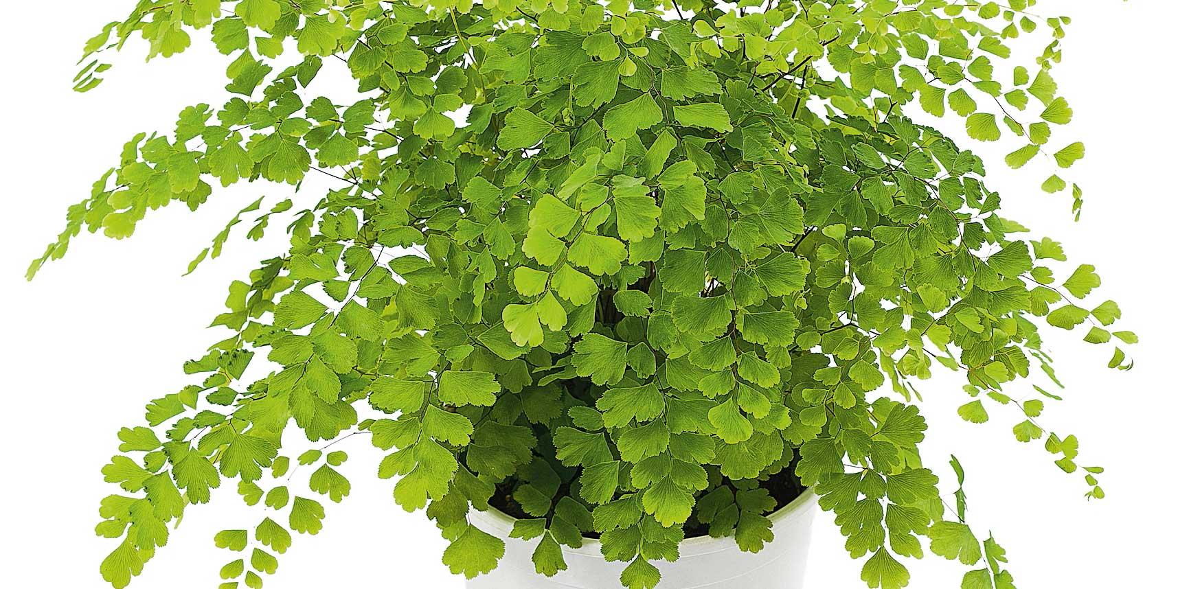 Foto Piante Da Appartamento Verdi fertilizzare le piante da interni casa - cose di casa