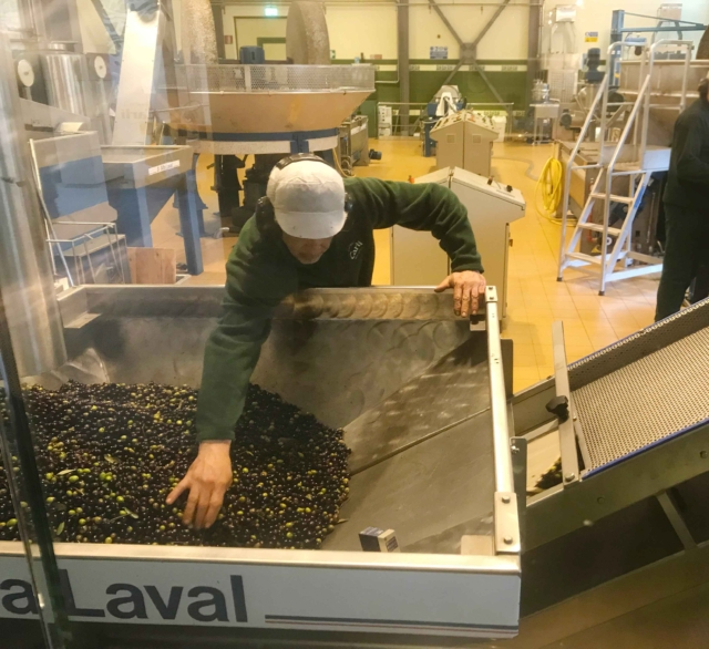 frantoio-olive