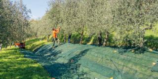 È il momento della raccolta delle olive