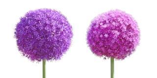 Aglio ornamentale, bello e facile da coltivare