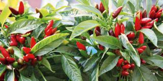 Pianta di peperoncino rosso
