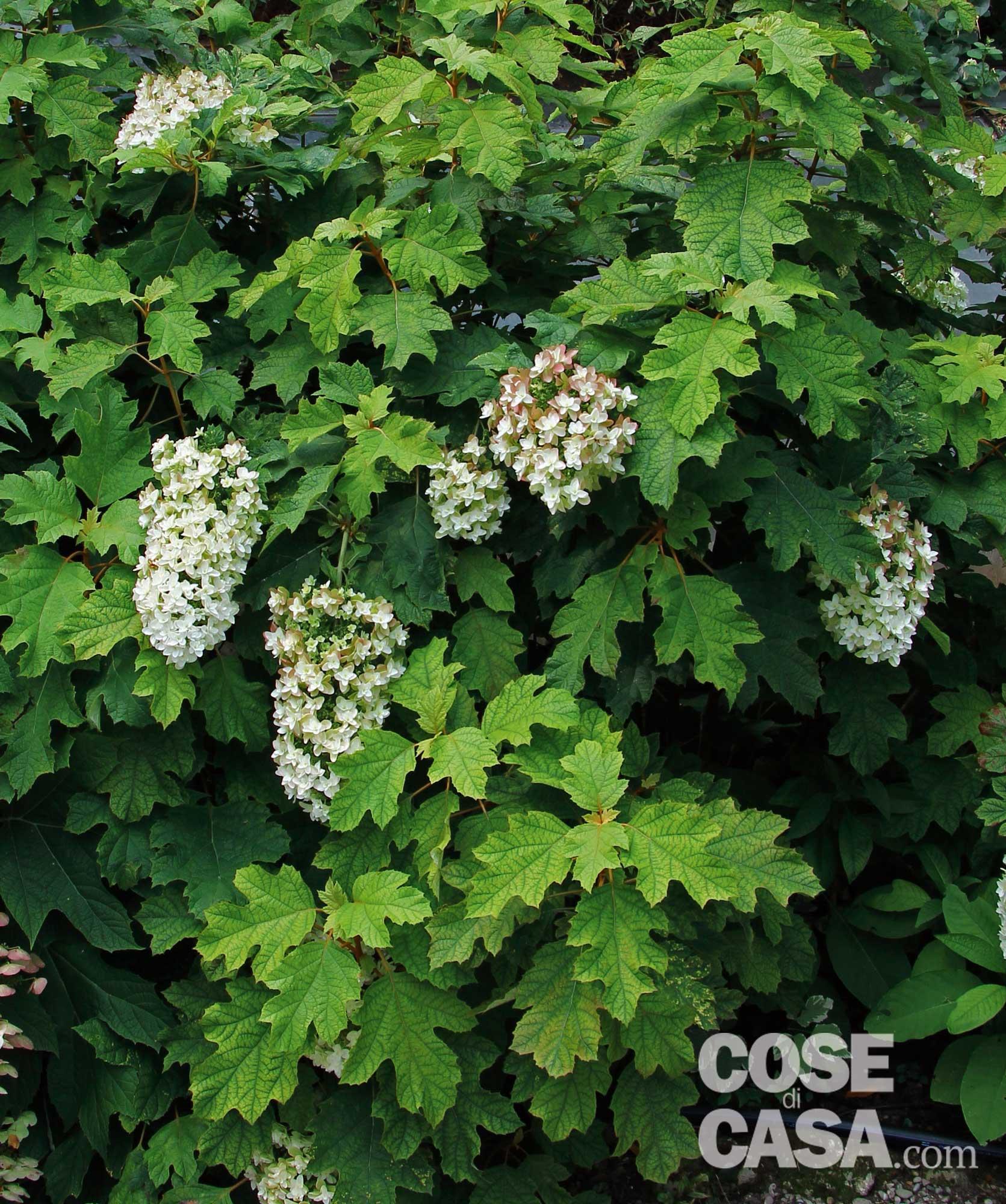 Piante Da Siepi Immagini la siepe fiorita tutto l'anno - cose di casa