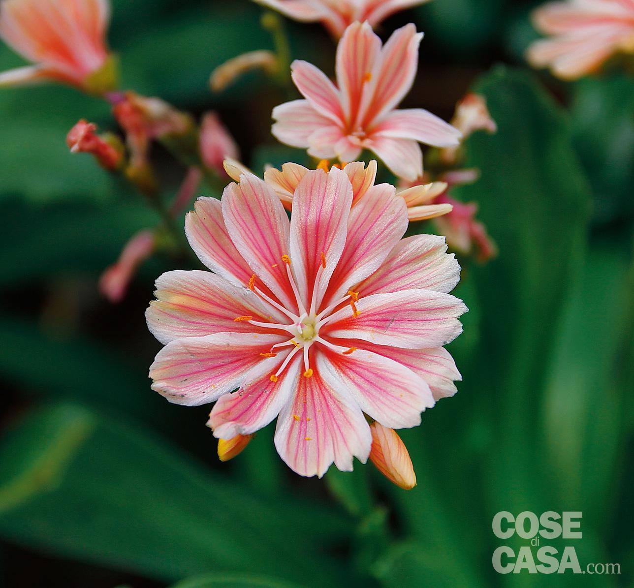 Lewisia cotyledon – Famiglia: Portulacaceae