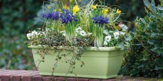 Preparare la fioriera con iris e narcisi