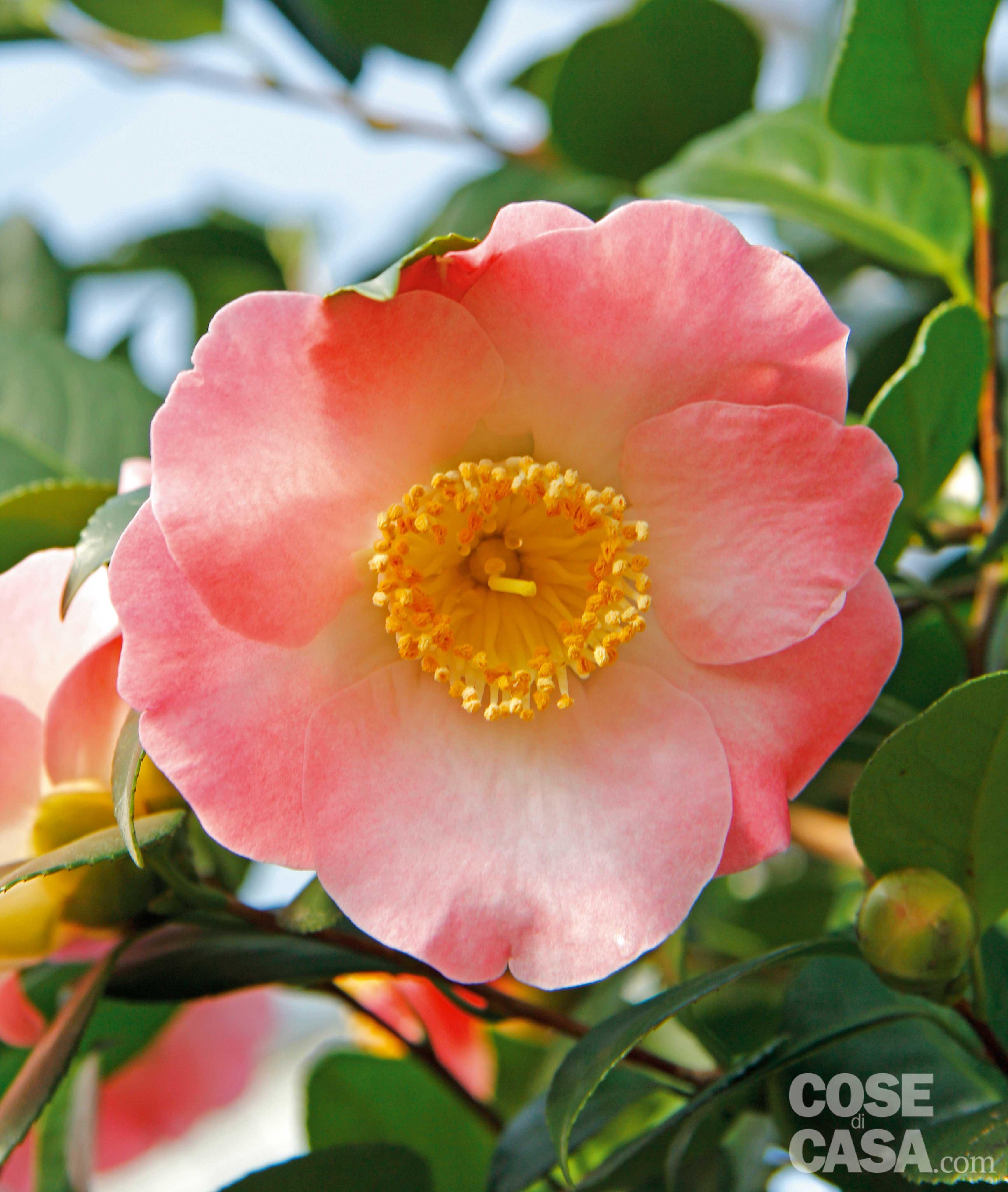 Piante Perenni Resistenti Al Freddo la siepe fiorita tutto l'anno - cose di casa