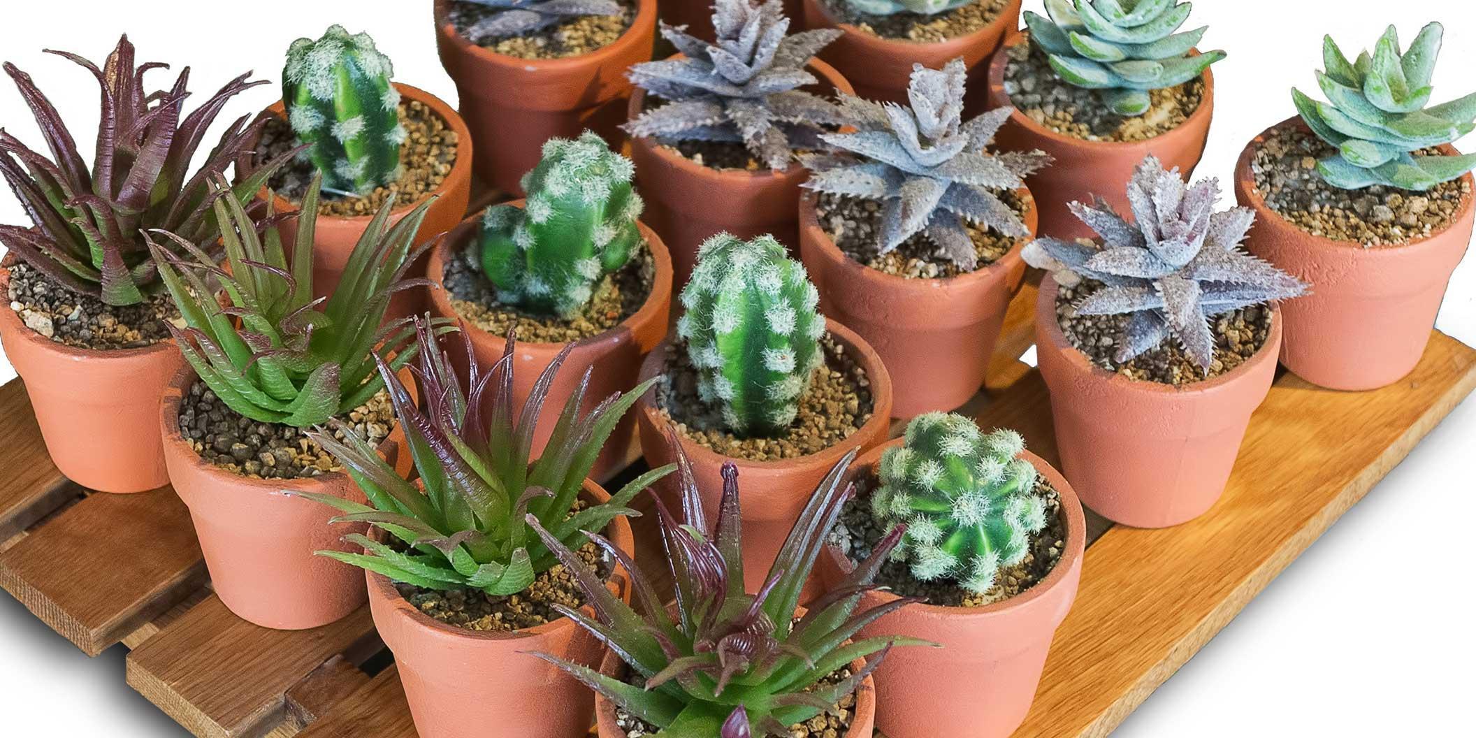 Piante Grasse Piccole Prezzi piante grasse minuscole | pcase.it news