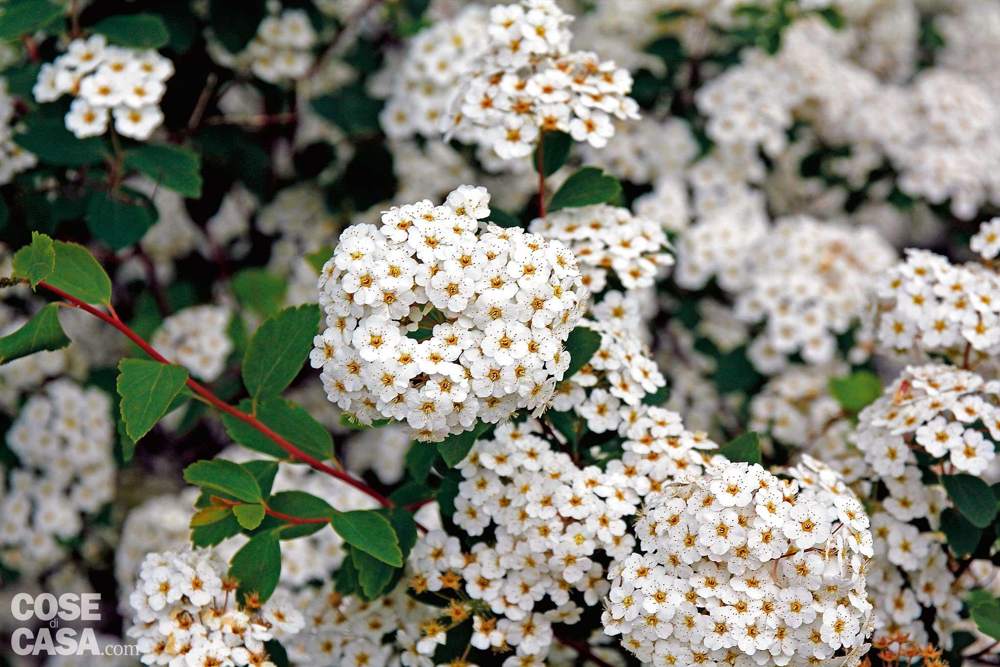 Cespugli Sempreverdi Con Fiori la siepe fiorita tutto l'anno - cose di casa