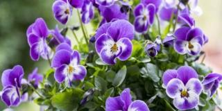 Le viole più belle per il giardino e il davanzale