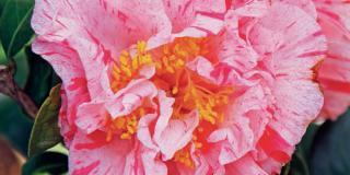 Camellia japonica 'Kick-Off' con fiori screziati di rosa