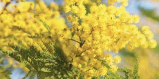 La mimosa, Acacia dealbata, fiorisce a marzo