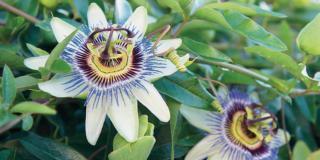 Mettere a dimora  la passiflora