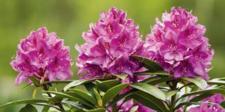 Moltiplicare il rododendro per margotta