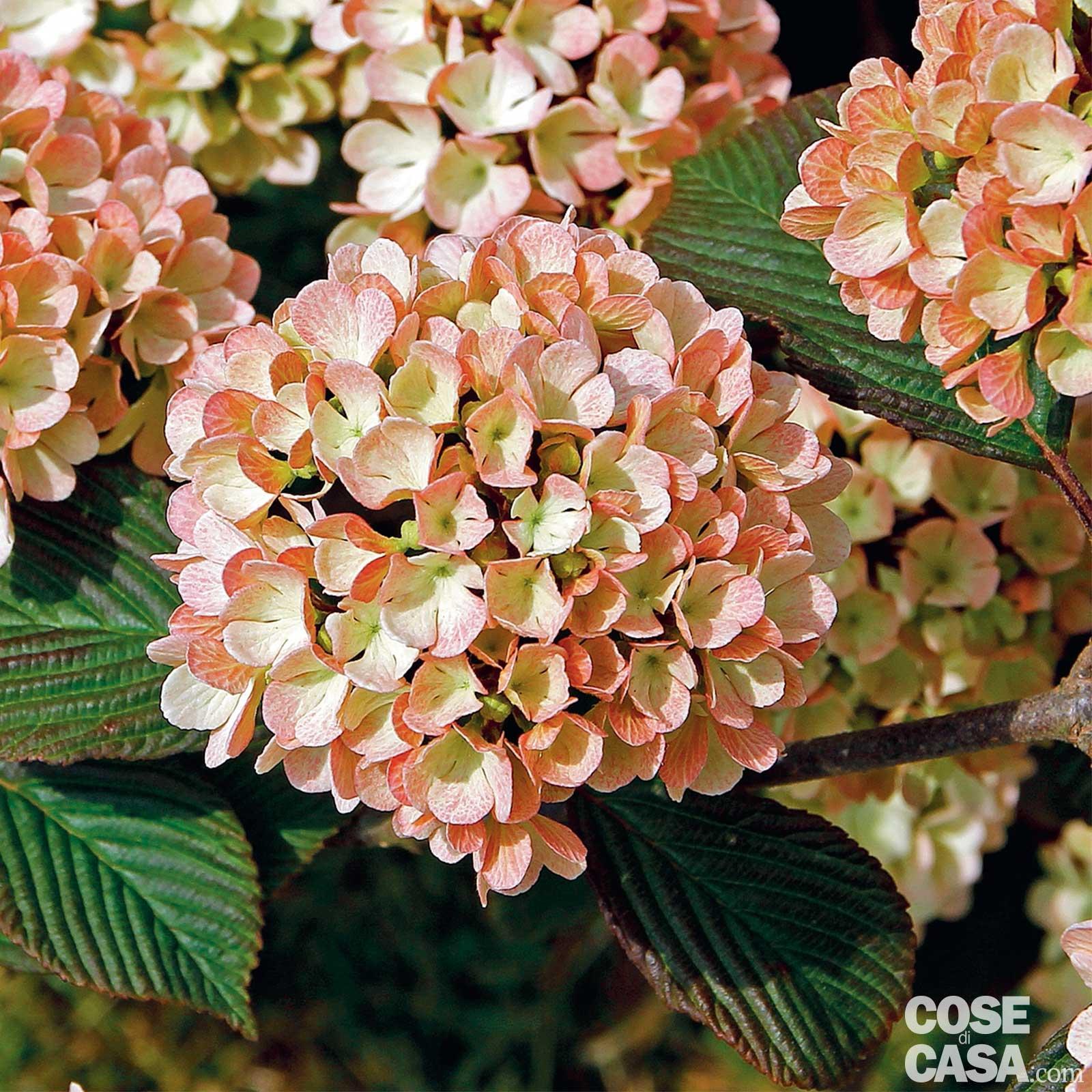 Come Potare A Palla viburnum plicatum 'pink sensation' - viburno giapponese a