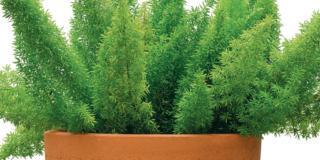 Asparagina, il verde facile in casa
