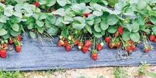 Coltivare con successo le fragole nell'orto