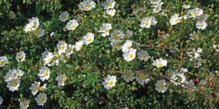 Cistus, i fiori per il giardino al sole