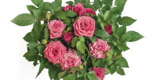 Roselline mignon, fiorite da maggio a ottobre